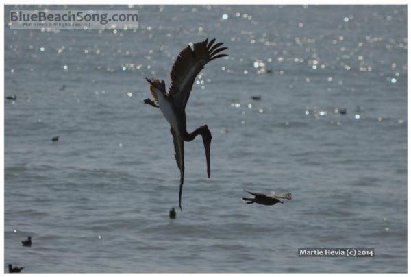 Diving Pelican © Martie Hevia - WM