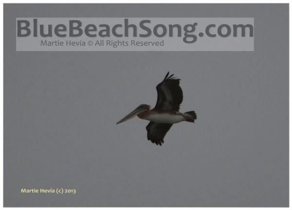 Pelican at Miramar © Martie Hevia