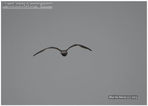 Seagull in Flight © Martie Hevia