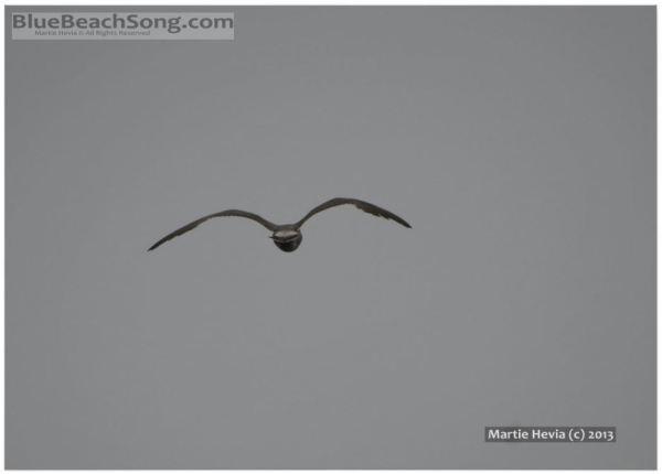 Seagull in Flight © Martie Hevia