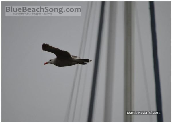 Seagull in Flight III © Martie Hevia