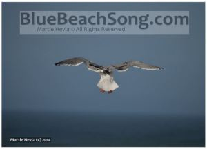Seagull Leaves - BlueBeachSong.com - WM
